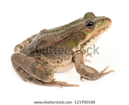 Green frog isolated #121900588