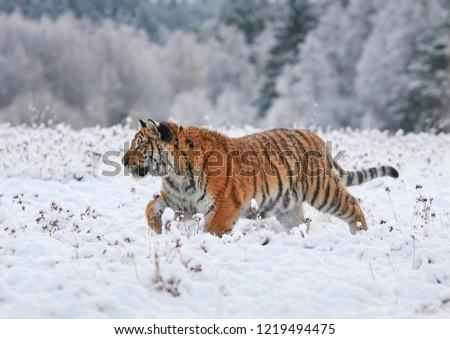 The Siberian tiger (Panthera tigris tigris)       #1219494475