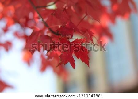 maple tree in the fall season #1219547881