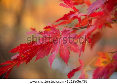 Red maple is changing colors at National Park in Korea. #1219636738