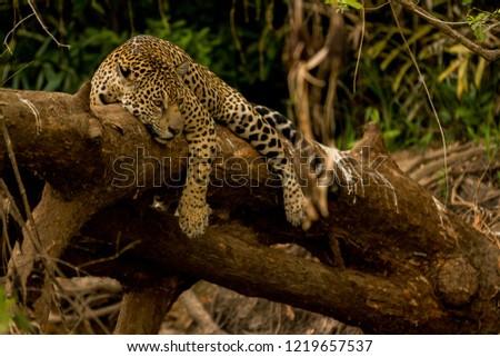 Brazilian Pantanal: The jaguar #1219657537