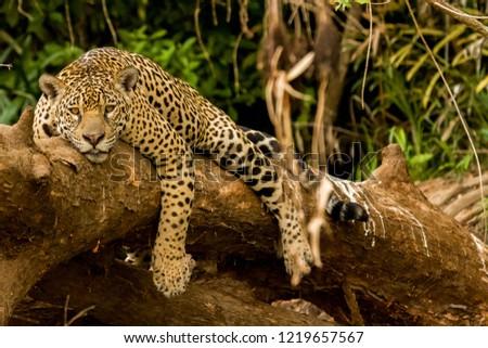 Brazilian Pantanal: The jaguar #1219657567