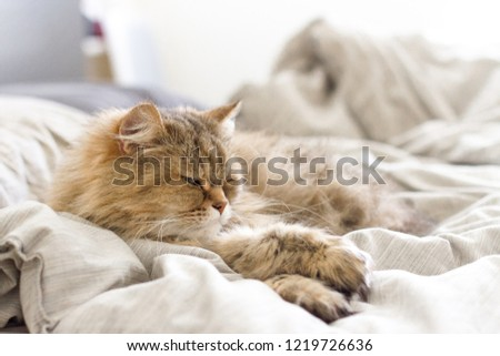 Brown adult cat laying on top of blankets on a bed with legs crossed during the middle of the day #1219726636