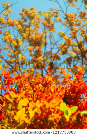 red leave autumn season. leaf at branch with blue sky background. ant eye view. looked up. traveling in summer or autumn season. colorful nature background. beautiful nature in the wild. #1219733983
