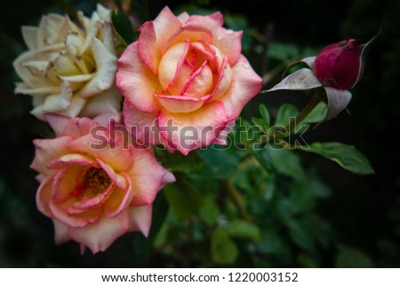 Beautiful beige and pink roses on a dark background. #1220003152