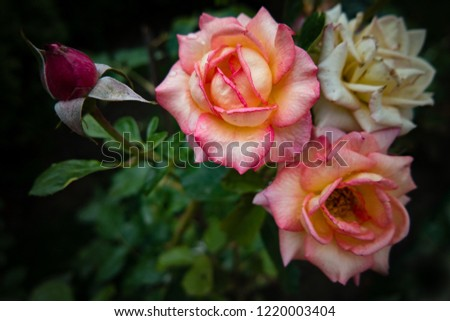 Beautiful beige and pink roses on a dark background. #1220003404