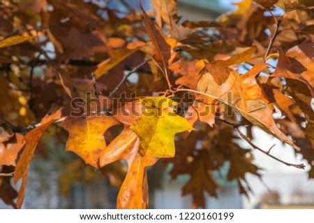 Golden Autumn. Yellow and brown maple leaves. Natural autumn background close-up. Yellow, gold fall maple leaves. #1220160199