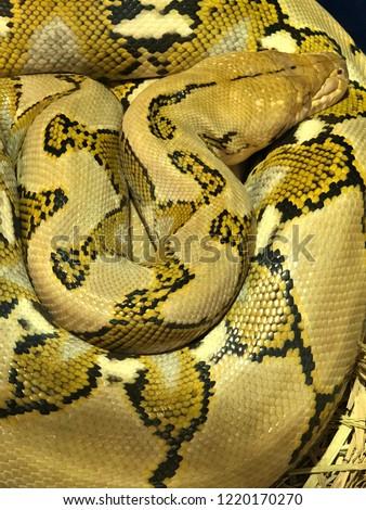 Yellow big snake #1220170270