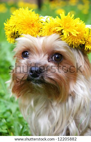 Cute yorkshire terrier with a dandelion wreath on its head #12205882