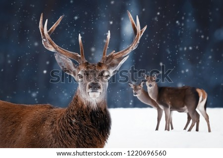 Noble deer male with big horns and deer female in a snowy forest. Natural winter image. Winter wonderland. #1220696560
