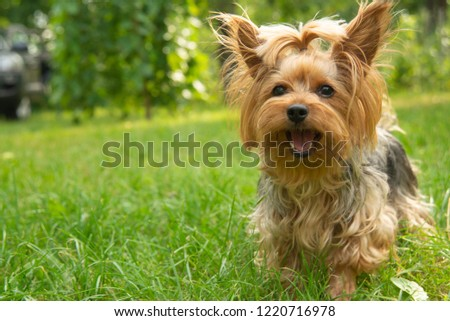 A small dog breed Yorkshire Terrier stands on the lawn and looks straight into the frame. Positive York is waiting for the owner to play with him. A small dog is opening its mouth.