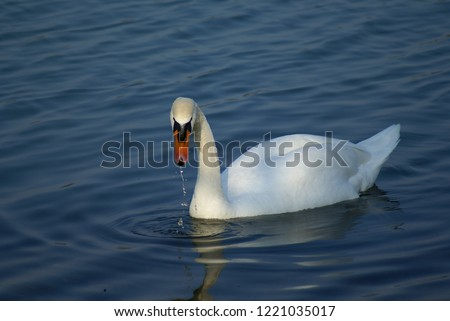 White swan swimming in a pond, Mantua (Italy) #1221035017