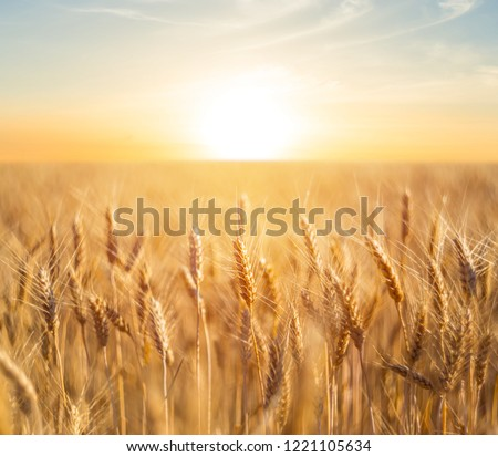 closeup summer wheat field at the sunset #1221105634
