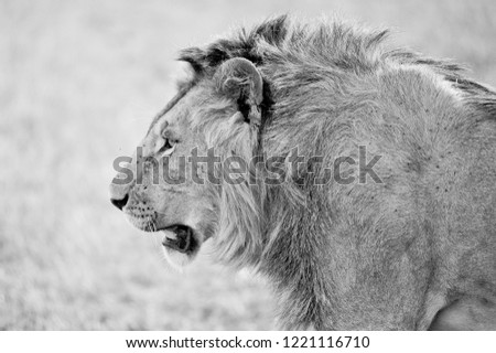Male lion in Kenya #1221116710