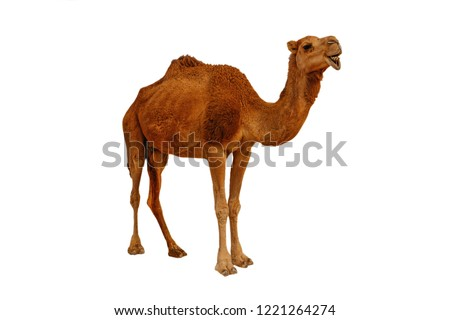 Camel isolated on the white background Royalty-Free Stock Photo #1221264274