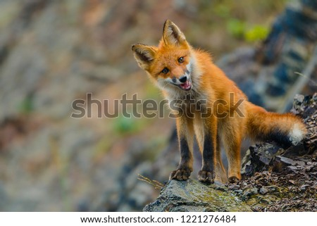 Wild red fox on a hill
