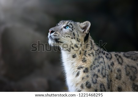 Snow leopard portrait close up on dark background