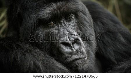 Wild mountain gorilla in the nature habitat. Very rare and endangered animal close up. African wildlife.Big and charismatic creature. Mountain gorillas. Gorilla beringei beringei. #1221470665