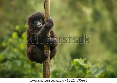 Wild mountain gorilla in the nature habitat. Very rare and endangered animal close up. African wildlife.Big and charismatic creature. Mountain gorillas. Gorilla beringei beringei. #1221470668