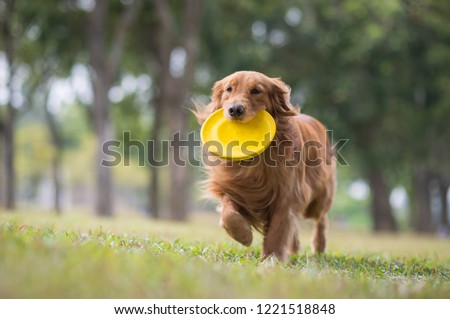 Golden Retriever playing in the meadow #1221518848