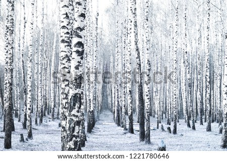Black and white photo of black and white birches in birch grove with birch bark between other birches #1221780646