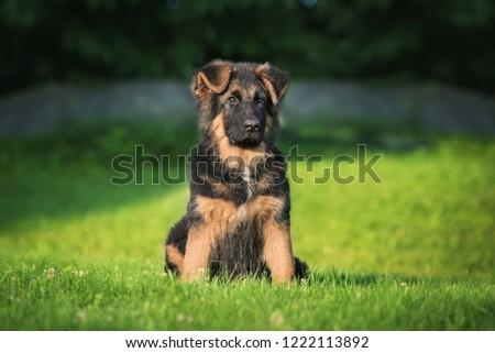 German shepherd puppy #1222113892