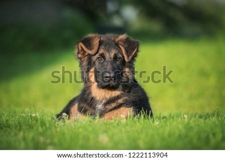 German shepherd puppy in summer #1222113904
