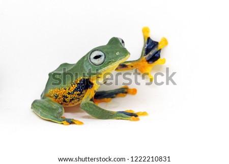 flying tree frog, javan tree frog, wallace frog, rhacophorus reinwardtii with white background #1222210831