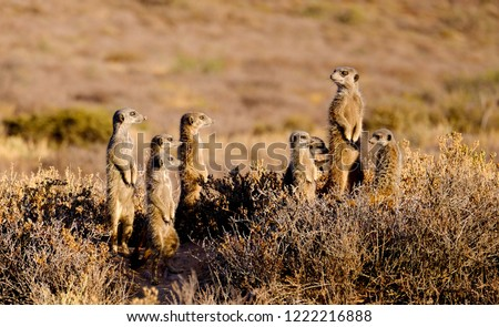 A family of meerkats photographed early in the morning. Taken on a meerkat safari.