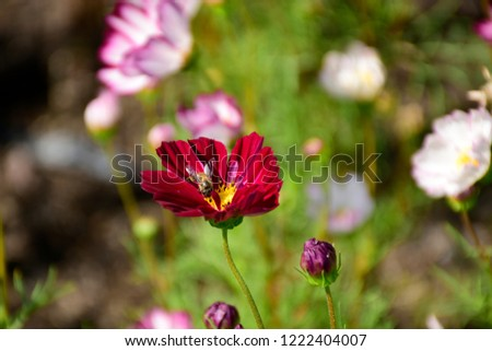 Flower Cosmos  #1222404007