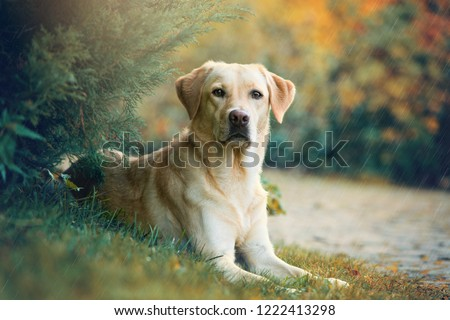 Labrador retriever dog lying under a tree in the rain #1222413298