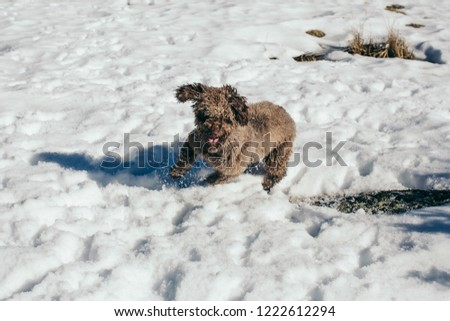Funny and sweet brown spanish water dog playing in the snow a nice winter day. Walking through the mountains while having fun. Lifestyle. Pet friendly. #1222612294