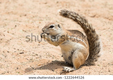 Cape Ground Squirrel showing fluffy tail (Xerus Inauris) #1222644526