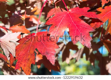 Red maple leafs in autumn #1222919632