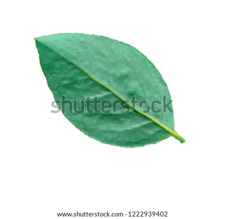 Blueberry green leaves.  Bilberry or blueberry leaf isolated #1222939402