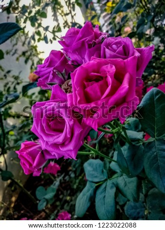 Garden Rose flowers. #1223022088
