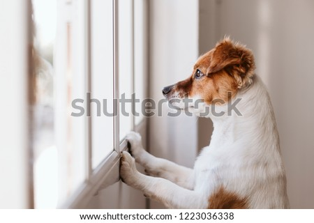 cute small dog standing on two legs and looking away by the window searching or waiting for his owner. Pets indoors #1223036338