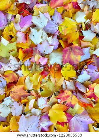 The colorful fall leaves of a maple tree  #1223055538