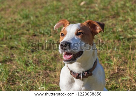background. in the park on the green grass, the dog breed Jack Russell Terrier plays, the color is white with brown spots #1223058658
