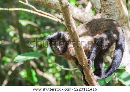 Capuchin monkey at Ile Royale, one of the islands of Iles du Salut (Islands of Salvation) in French Guiana #1223111416