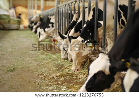 Cattle in a barn eating grass #1223276755