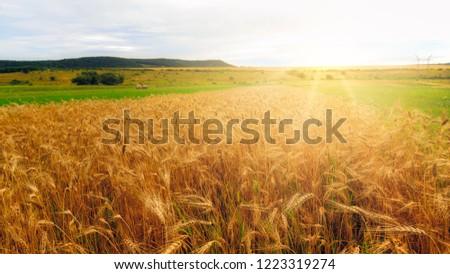 wheat field at sunrise #1223319274