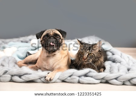 Cute cat and pug dog with blankets on floor at home. Cozy winter #1223351425