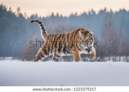 Siberian Tiger in the snow (Panthera tigris) Royalty-Free Stock Photo #1223379217