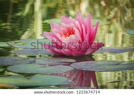 Beautiful pink water lily or lotus flower Perry's Orange Sunset. Nymphaea is reflected in the water. Soft blurred background of dark leaves from an old pond. Nature concept for design