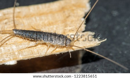 Closeup of long tailed silverfish, Ctenolepisma longicaudata, also called gray silverfish. It is crawling on a thin piece of wood.