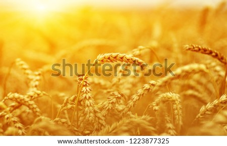 Wheat closeup. Wheat field on sun. Harvest and food concept #1223877325