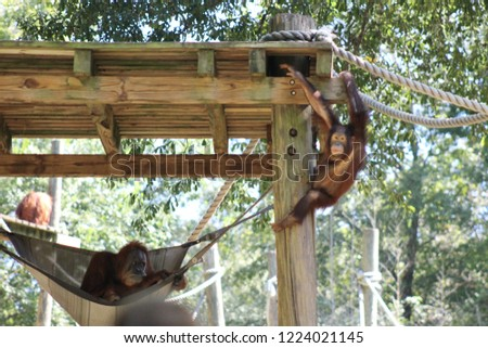A baby orangutan is playing while he is being watched by his mother in the enclosure #1224021145