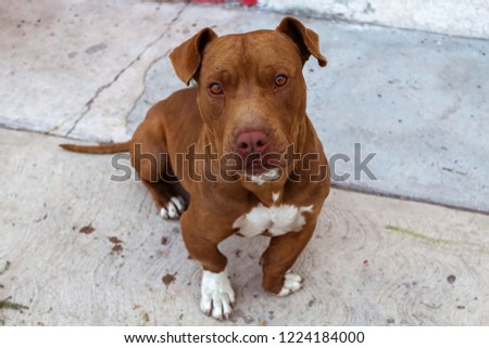 full body picture of pitbull breed dog, color brown, sitting with interested frown,