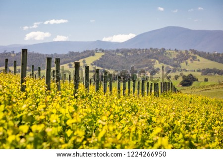 Rows of vines in a vineyard in the Yarra Valley, Victoria, Australia #1224266950